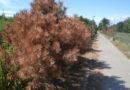 Usychają drzewa przesadzone wzdłuż ścieżki rowerowej